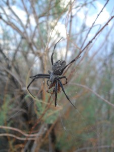 Unidentified species of spider at our camp at Crystal Geyser.