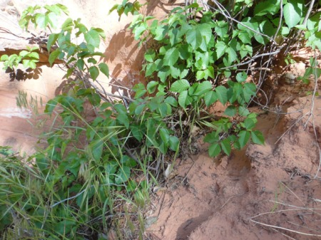 Poison Ivy in a relatively dry location just up Fool's Canyon form the river. Photo by Gerald Trainor.