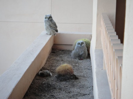 Owlets in the planter box, Tucson. Photo by Gerald Trainor.