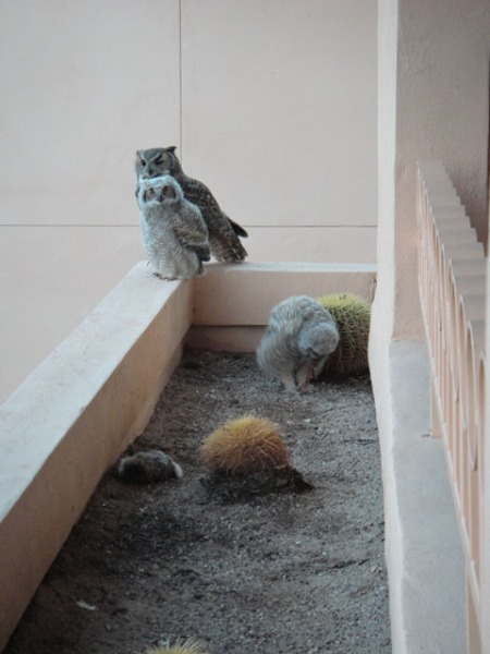 Mother and owlet Great Horned owls at their hotel room in Tucson. Photo by Gerald Trainor.