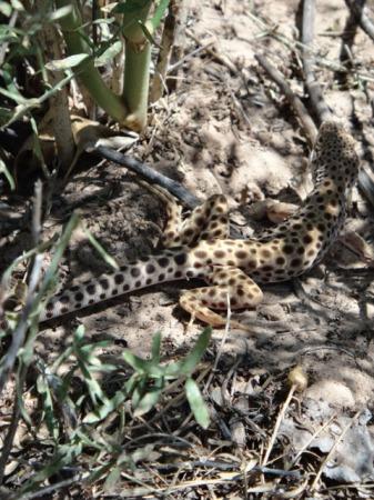 Longnose Leopard Lizard.