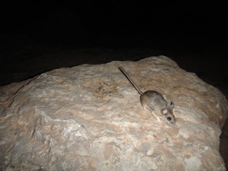 Mouse in our camp on the San Juan. Photo by Gerald Trainor.
