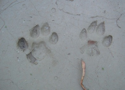 coyote tracks in mud along the Escalante River, photo by G. Trainor