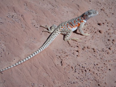 Longnose leopard lizard, Poison Spring canyon. Photo by Gerald Trainor.