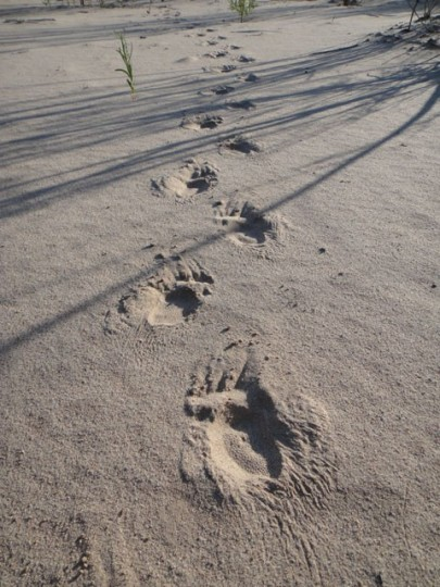 Porcupine tracks along the Dirty Devil. Photo by Gerald Trainor.