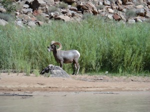 Bighorn sheep on the San Juan River. Photo by Gerald Trainor.