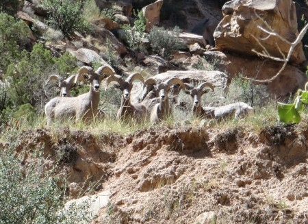 Bighorn sheep on the San Rafael River. Photo by Gerald Trainor.