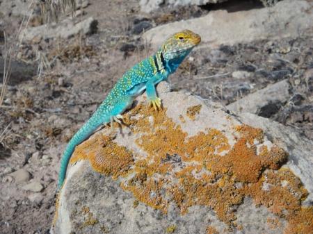 Collared lizard. Photo by Gerald Trainor.