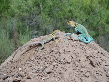 Collared lizards at Nancy Patterson Village. Photo by Gerald Trainor.