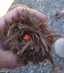 Birds nest of juniper bark, photo by Gerald Trainor